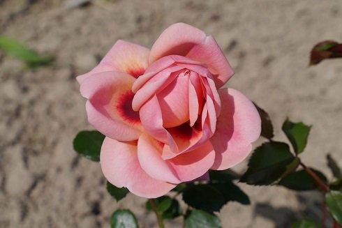Több mint 30 év után újraindult a rózsanemesítés Magyarországon
