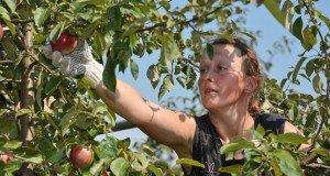 Kedvenc gyümölcsünk az alma- szüretelés és tárolás