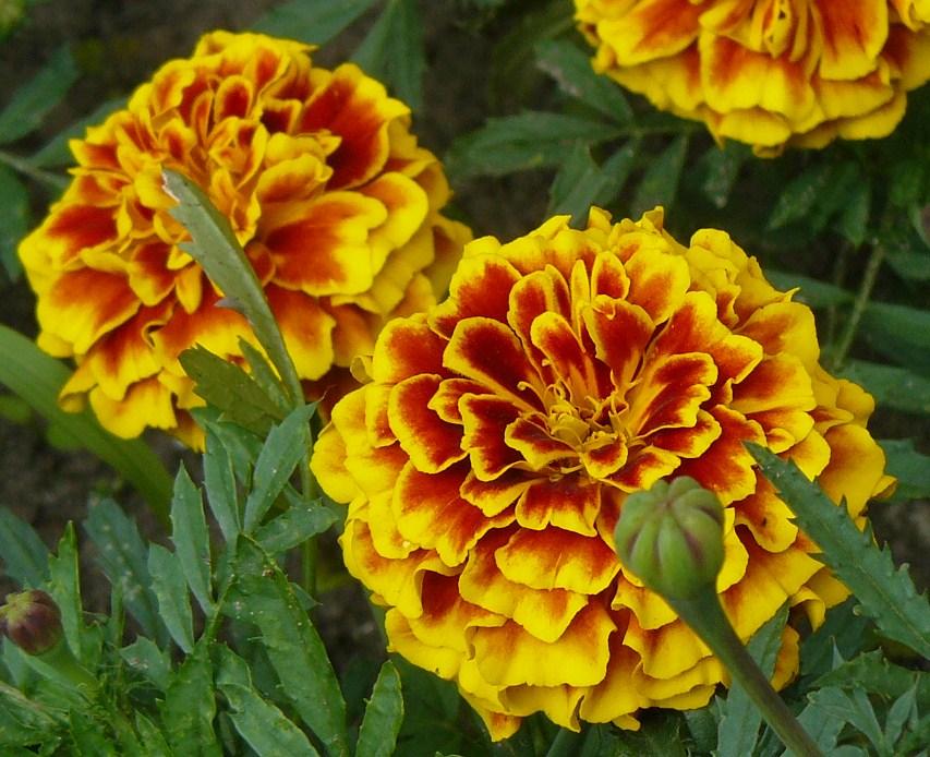 barsonyvirág