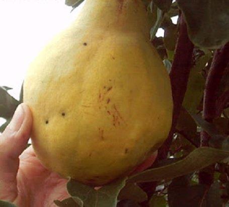 Birs: az elfeledett gyümölcs