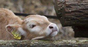 Borzderes szarvasmarhák Gyűrűsön