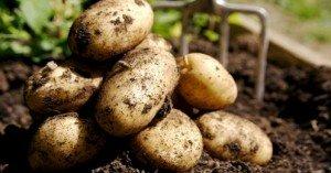Bálint gazda- A burgonya kerti termesztése: hogyan kezdjük?