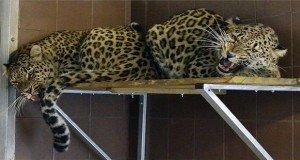 Új helyen laknak a perzsa leopárdok Jászberényben