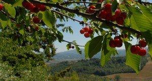 Hogy a cseresznye ne csak a madarak desszertje maradjon