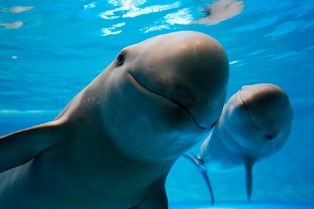 Pár év múlva kihalhat a rücskösfarkú disznódelfin