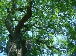 Melyik legyen 2013 fája?