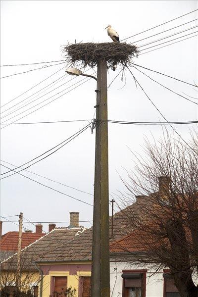 Az első visszatért gólya Somogysámsonon 2014. február 19-én. A helybéliek elmondása szerint a madár pár napja érkezett meg. MTI Fotó: Varga György
