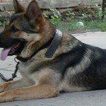Január 1-jétől tilos a kutyát tartósan kikötve tartani