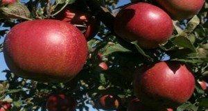 A régi jól bevált magyar alma