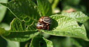 Bálint gazda- Kártevőriasztó növények: nyílt ellenségeskedés a kertben