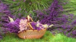 Levendula teraszon, kertben, mezőn