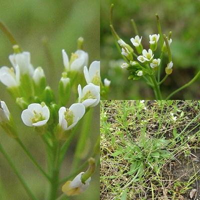Arabidopsis thaliana lesz az első földi marslakó, amely üvegházban fog fejlődni.