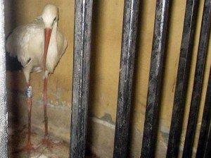 Ménest Egyiptomban levadászták, bebörtönözték, végül megették