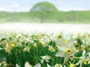 Kárpátalja – Május 5-én virágba borul a Nárciszok Völgye