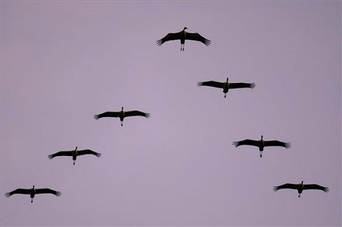 Szürke darvak (Grus grus) repülnek naplemente után éjszakázó helyükre a Hortobágyon, az Elepi tóegység közelében 2013. október 20-án. Európa legnagyobb darugyülekező helyén, a Hortobágyi Nemzeti Park területén az október elejei adatok szerint közel 85.500 daru tartózkodik. Az Észak-Európából (zömmel Finnországból) szeptember második felében érkező madarak a komolyabb fagyok beköszöntéig maradnak, majd Szicílián, illetve a Boszporuszon keresztül jutnak el észak-afrikai, tunéziai és szudáni telelő területeikre. MTI Fotó: Czeglédi Zsolt
