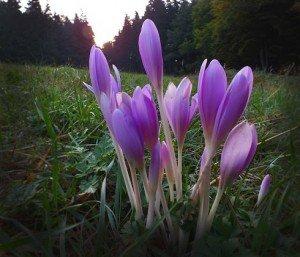 Az őszi kikerics virágzása visszavonhatatlanul az ősz beköszöntét jelzi.