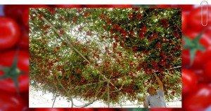 Paradicsomfa a kertben