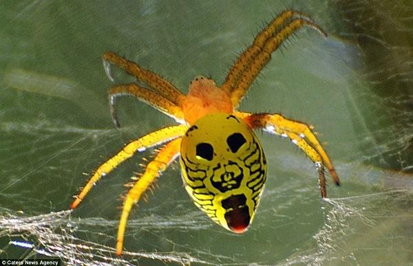 Az eleje a vége. Ez a kis rikító sárga pókocska roppant félelmetes hatalmasra tátott szájával.