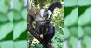 Újabb maki fajjal gazdagodott a Nyíregyházi Állatpark állománya