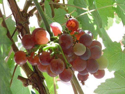 Az augusztusi napfényben a szőlőlugas levelei közt finoman átszűrődik a fény