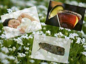 Szagos müge álmatlanság ellen, bólék készítéséhez és molyűzésre