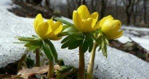 Virágzik a téltemető Szatmárban