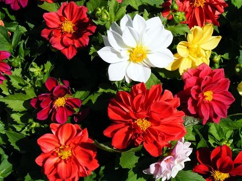 A törpedália júniustól októberig pompázik kertben és balkonládában egyaránt.