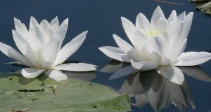 A tündérek virága