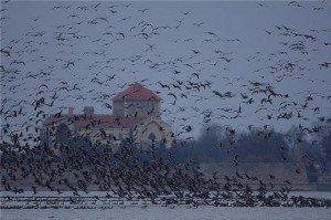 Özönlenek a vadludak az Öreg-tóra