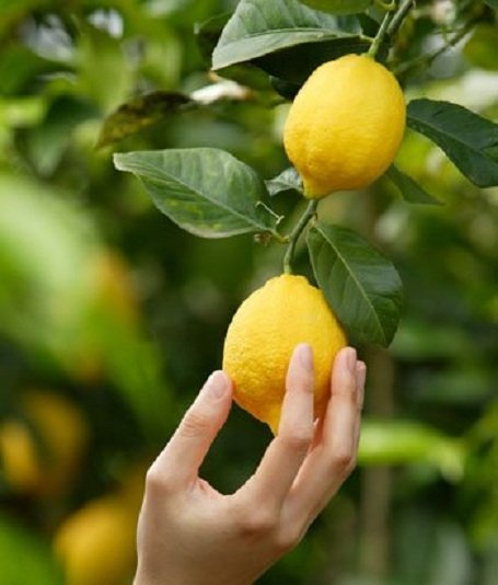 citromfa 1