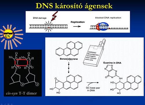 A DNS bázisait különböző hatások károsíthatják, mint a nap UV-sugárzása, vagy a cigarettafüstben található benzopirén
