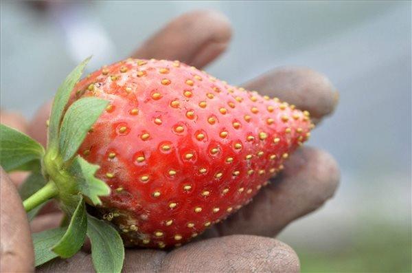 Egy gazdálkodó mutatja a pirosló földiepret Fegyverneken 2013 november 13-án. A családi gazdaságban augusztus végén ültették el a palántákat. Eddig nem fordult elő, hogy a növények termést hoztak volna a kiültetést követően, még ősszel. A gazda csak tavaszra várta a termést, azonban a meleg, napos őszi időben a növények fogyasztható termést hoztak. MTI Fotó: Mészáros János