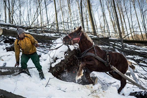 Az Ipoly Erdő Zrt. szakembere egy ló segítségével kidőlt fákat vontat a Börzsönyben 2015. február 20-án, ahol folyamatosan dolgoznak a decemberi ónos eső okozta károk elhárításán és az utak felszabadításán, de továbbra is korlátozzák az erdőlátogatást; ugyanakkor vannak már járható utak. MTI Fotó: Mohai Balázs