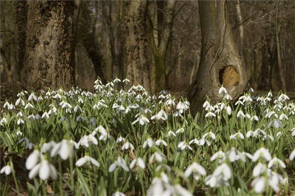 Az enyhe télben nyílik a hóvirág az Alcsúti Arborétumban, Alcsútdobozon 2014. február 20-án.