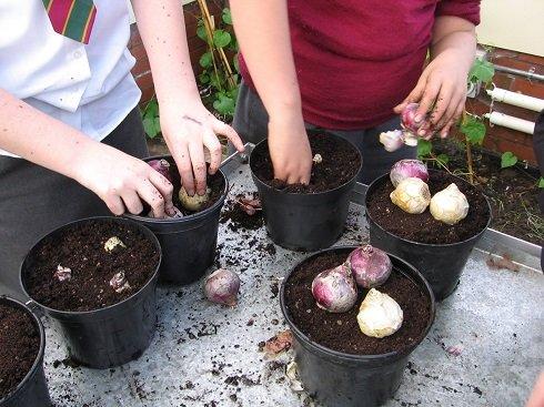 A hagymák kb. két harmada kerüljön földbe.