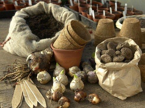 Laza, porhanyós földet válasszunk az ültetéshez. A hagymákat önállóan, egy cserpébe is ültethetjük, de egy nagyobb edényben több hagyma is megfér egymás mellett.