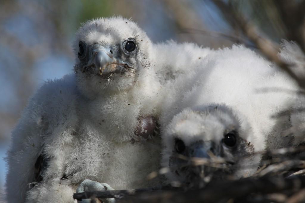 Poussins de Faucon sacre (Falco cherrug)