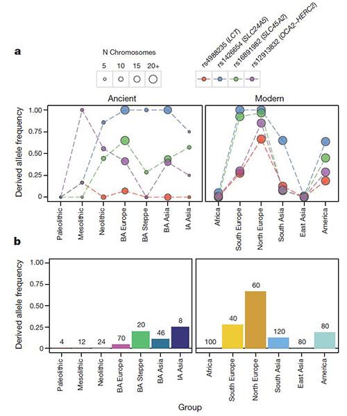 A kutatásban vizsgált pontmutációkat tartalmazó allélek gyakoriságának változása. Ezeket az (a) ábra grafikonjain kis körök jelölik. rs4988235: laktóztolerancia, rs1426654 és rs16891982: világos bőr, rs12913832: kék szem. A (b) ábra a laktóztolerancia gyakoriságát mutatja ősi és jelenlegi népességeknél Forrás: Nature