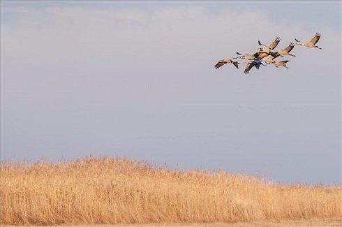 Szürke darvak (Grus grus) repülnek a Hortobágyon, az Elepi tóegység közelében 2013. október 20-án. Európa legnagyobb darugyülekező helyén, a Hortobágyi Nemzeti Park területén az október elejei adatok szerint közel 85.500 daru tartózkodik. Az Észak-Európából (zömmel Finnországból) szeptember második felében érkező madarak a komolyabb fagyok beköszöntéig maradnak, majd Szicílián, illetve a Boszporuszon keresztül jutnak el észak-afrikai, tunéziai és szudáni telelő területeikre. MTI Fotó: Czeglédi