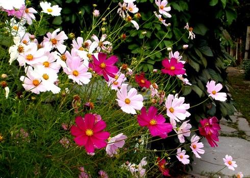 A pillangóvirág kertben és erkélyen is sokáig virágzik.