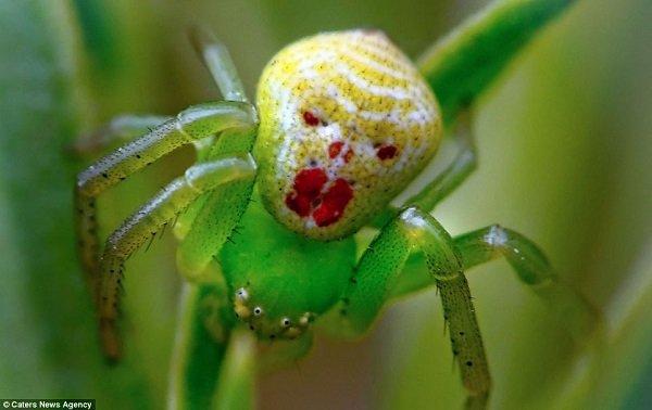 Rikító zöld harisnya, citromsárga sminkkel. Lehet, hogy nem kellett volna vörös rúzst használni? Bár, pókéknál ki tudja, mit diktál a jó ízlés.