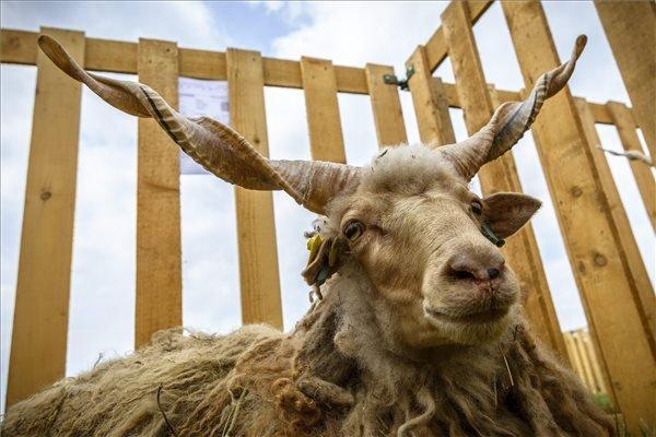 Egy racka juh a Hortobágyi rackanapon a Pusztai Állatparkban.