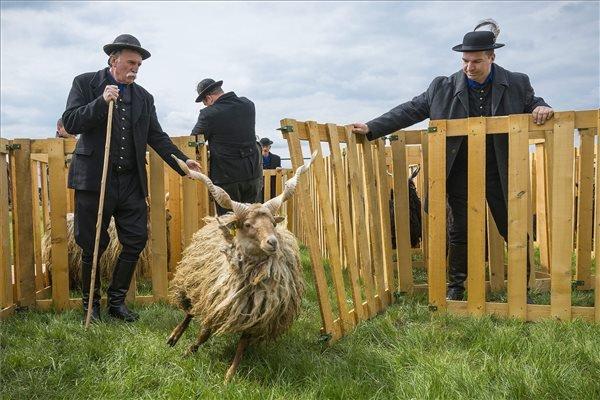 Pásztorok egy racka juhot terelnek a Hortobágyi rackanapon a Pusztai Állatparkban.