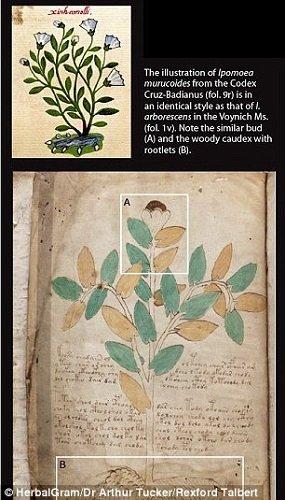 A  Voynich kéziratnak ez az illusztrációja megegyezik a mexikói Ipomoea Muricoides ábrázolásával, amely a Codex Cruz-Basiarnus Kódexben szerepel.