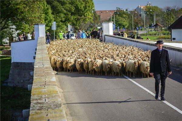 Rackanyájat hajtanak pásztorok a Kilenclyukú hídon a Szent Dömötör-napi behajtási ünnepen Hortobágyon 2014. október 25-én. A hűvösebb időjárás közeledtével a hortobágyi pásztorok, a régi népszokásokat követve, a rájuk bízott jószágokat behajtják a pusztáról téli szálláshelyeikre. MTI Fotó: Czeglédi Zsolt