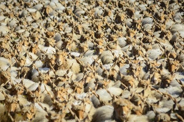 Rackanyájat hajtanak a Szent Dömötör-napi behajtási ünnepen Hortobágyon 2014. október 25-én. A hűvösebb időjárás közeledtével a hortobágyi pásztorok, a régi népszokásokat követve, a rájuk bízott jószágokat behajtják a pusztáról téli szálláshelyeikre. MTI Fotó: Czeglédi Zsolt