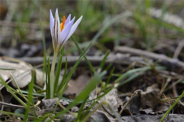 Virágzik a tarka sáfrány (Crocus reticulatus) a Debrecenhez közeli Erdőspusztán 2015. február 28-án. MTI Fotó: Czeglédi Zsolt
