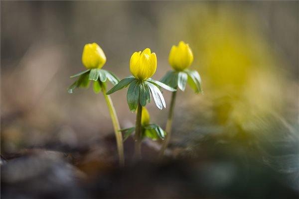 Virágzik a téltemető virág (Eranthis hyemalis) a Nyíregyházi Főiskola Tuzson János Botanikus Kertjében 2015. február 5-én. MTI Fotó: Balázs Attila